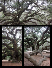Multiple images display the knarled old limbs of Angel Oak