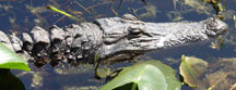 Toothy Resident Okefenokee Marina Pond about 9 feet in length.