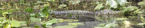 An Alligator, about ten feet long