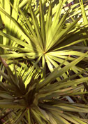 Cabbage palmetto adds wonderful texture.