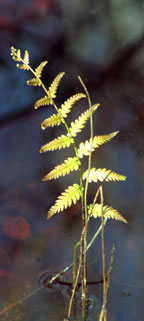 A fairy fern rises from the water