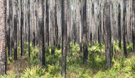 New growth pine timber for harvest.