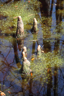 Cypress knees (I call em Gnome-homes)