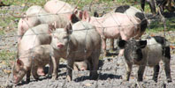 I LOVE PIGS and pigfarms!