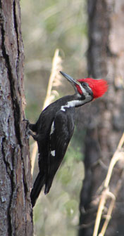 Friendly pileated woodpecker in my capsite