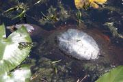 A 50-pound soft-shelled turtle