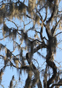 Spanish Moss decorates almost every tree.