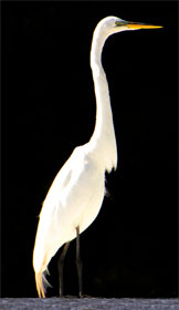 The beautiful white egret common to Okefenokee