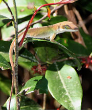 "A ""not-so-green"" green anoles is not a true chameleon."