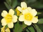 Sweet honeysuckle bloms